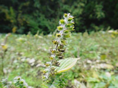 「菊池水源産エゴマ」 白エゴマは花から実へ!黒エゴマ土寄せを施し元気に成長中!_a0254656_17554078.jpg