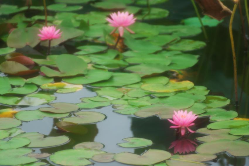 栃木市 つがの里の蓮_a0263109_13584374.jpg