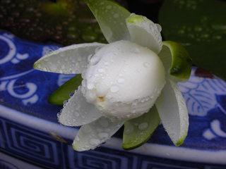 睡蓮のお花が咲きました♪_f0374160_17184202.jpg