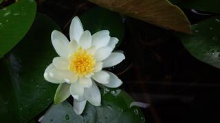 ヘクサゴンと睡蓮の花_f0374160_17304794.jpg