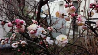 梅の花が咲きました♪_f0374160_17331503.jpg
