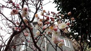 梅の花が咲きました♪_f0374160_17331582.jpg