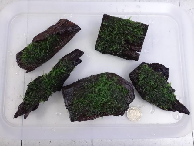 160914 熱帯魚・金魚・淡水魚・侘び草・水草_f0189122_12362790.jpg