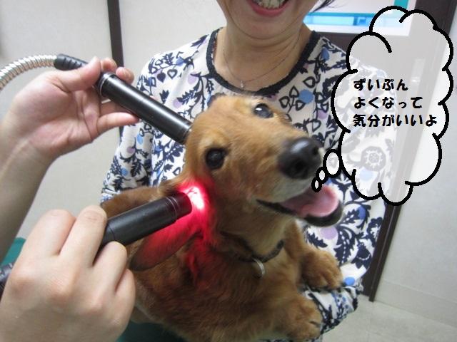 【斜頸のミニチュアダックス】_b0059154_10133539.jpg