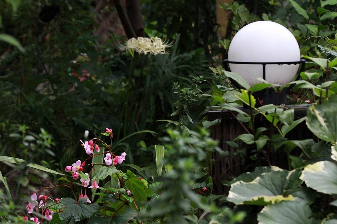 明日は園芸店のはしご ~シュウカイドウ、リコリス~_a0107574_19234622.jpg
