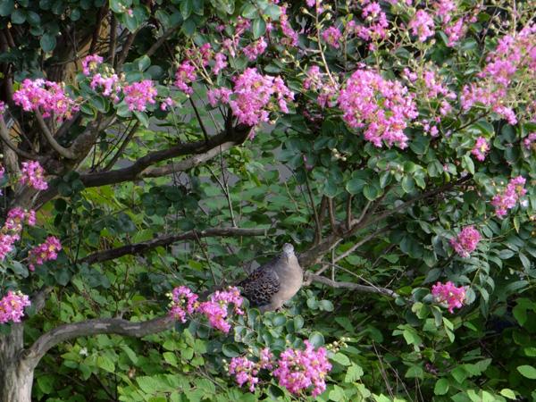 盛りを過ぎた百日紅の枝にキジバトが・・・♪_a0136293_1834161.jpg