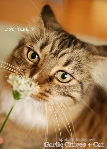 Baileyにニラの花を進呈_b0253205_05314830.jpg
