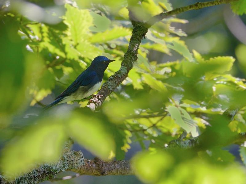 お山で鳥見(8)(オオルリ幼鳥/成鳥)_a0204089_5541149.jpg