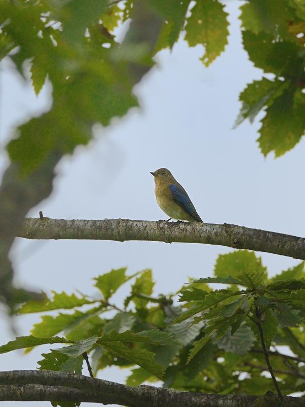 お山で鳥見(8)(オオルリ幼鳥/成鳥)_a0204089_60634.jpg