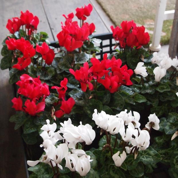 ガーデンシクラメン_a0292194_1382156.jpg