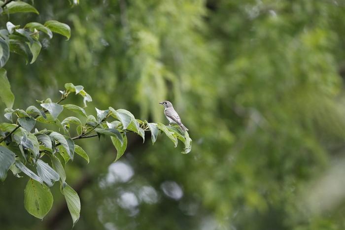 MFの森でコサメビタキを撮る_f0239515_1842331.jpg