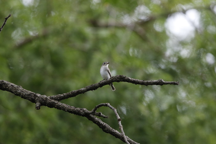 MFの森でコサメビタキを撮る_f0239515_1844762.jpg