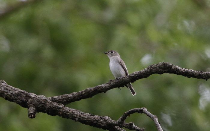 MFの森でコサメビタキを撮る_f0239515_18454039.jpg