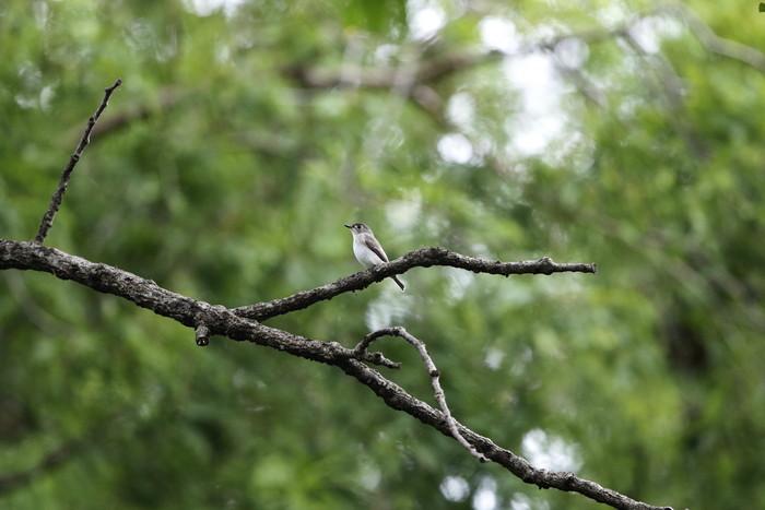 MFの森でコサメビタキを撮る_f0239515_18462068.jpg