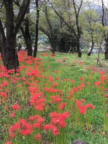 彼岸花が咲き始め、稲刈りもたけなわです。_d0338282_12534656.jpg