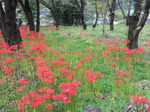 彼岸花が咲き始め、稲刈りもたけなわです。_d0338282_12534729.jpg