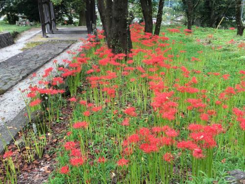 彼岸花が咲き始め、稲刈りもたけなわです。_d0338282_12534855.jpg