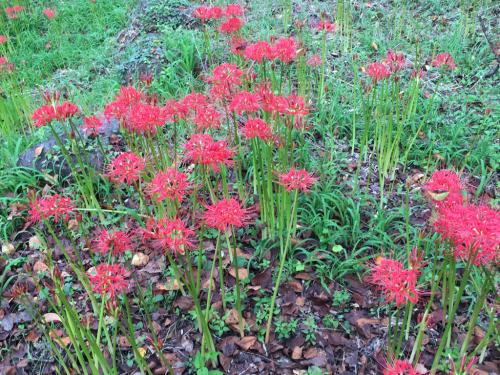 彼岸花が咲き始め、稲刈りもたけなわです。_d0338282_12534930.jpg