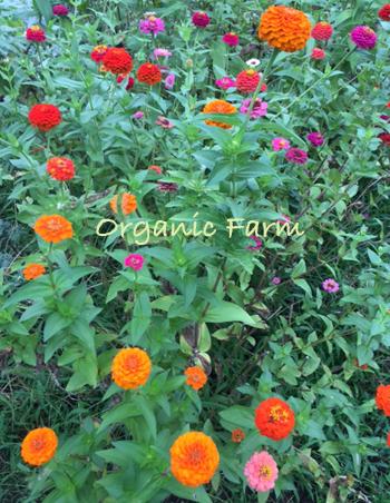 畑のジニア * レッスンのお花を収穫しました♪_b0138802_23562047.jpg