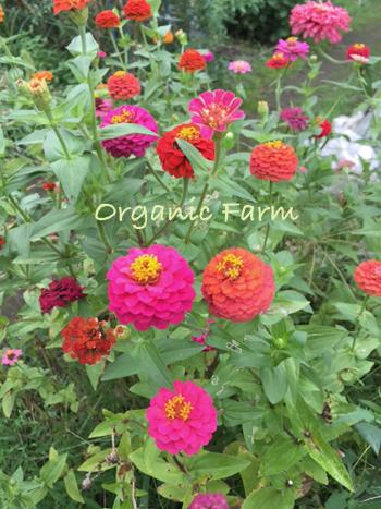 畑のジニア * レッスンのお花を収穫しました♪_b0138802_23562149.jpg