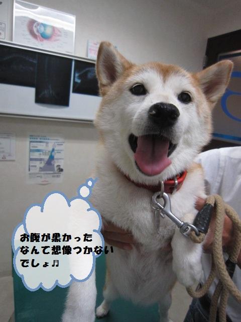 【柴犬の皮膚トラブル】_b0059154_1234272.jpg