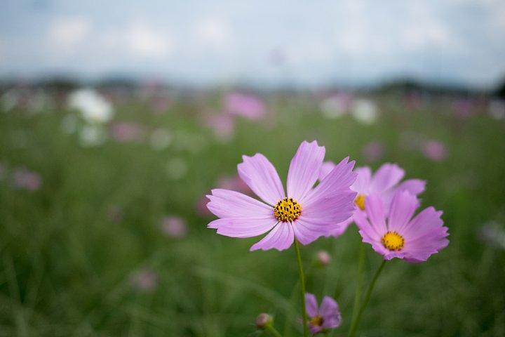 蒸し暑い9月でも秋桜は咲く_d0353489_185136.jpg