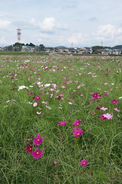 蒸し暑い9月でも秋桜は咲く_d0353489_1853212.jpg