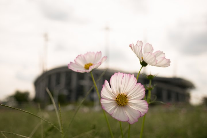 蒸し暑い9月でも秋桜は咲く_d0353489_1854736.jpg