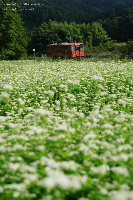 蕎麦花の香り_d0309612_15570227.jpg