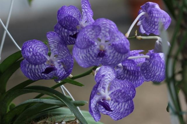 コンパクト仕立ての;V.coerulea Blue(バンダ:セルレア・ブルー)_d0007501_09245685.jpg