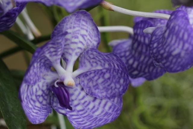 コンパクト仕立ての;V.coerulea Blue(バンダ:セルレア・ブルー)_d0007501_09250840.jpg