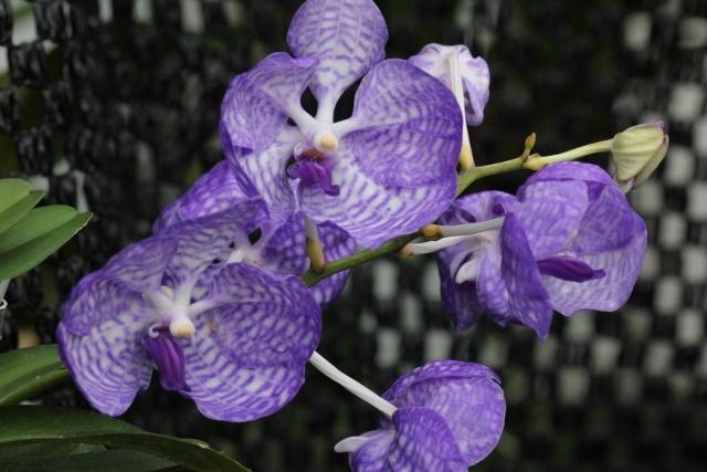 コンパクト仕立ての;V.coerulea Blue(バンダ:セルレア・ブルー)_d0007501_09254542.jpg