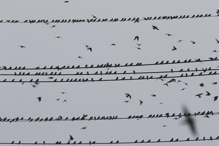 田んぼ巡りで渡りの途中のツバメの群れを_f0239515_1522627.jpg