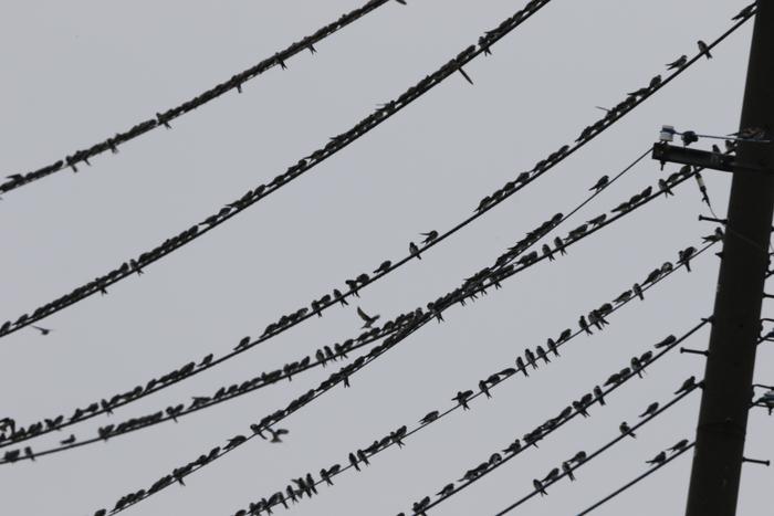田んぼ巡りで渡りの途中のツバメの群れを_f0239515_15377.jpg