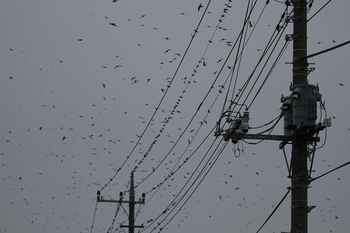 田んぼ巡りで渡りの途中のツバメの群れを_f0239515_1542216.jpg