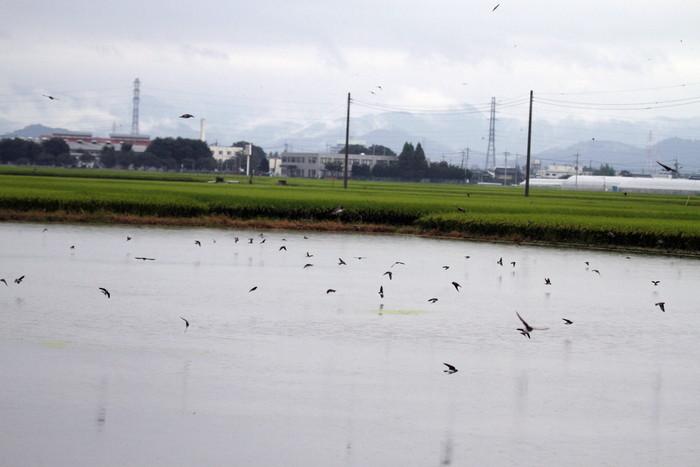 田んぼ巡りで渡りの途中のツバメの群れを_f0239515_15837100.jpg