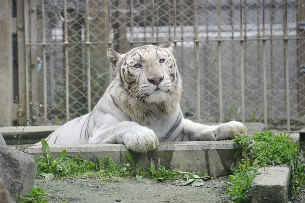 2016.6.26 東武動物公園☆ホワイトタイガーのロッキー【White tiger】_f0250322_2255832.jpg