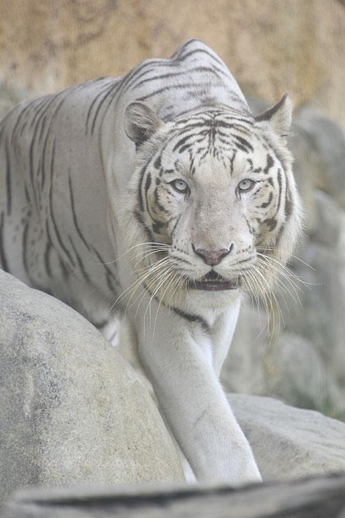 2016.6.26 東武動物公園☆ホワイトタイガーのロッキー【White tiger】_f0250322_2261014.jpg