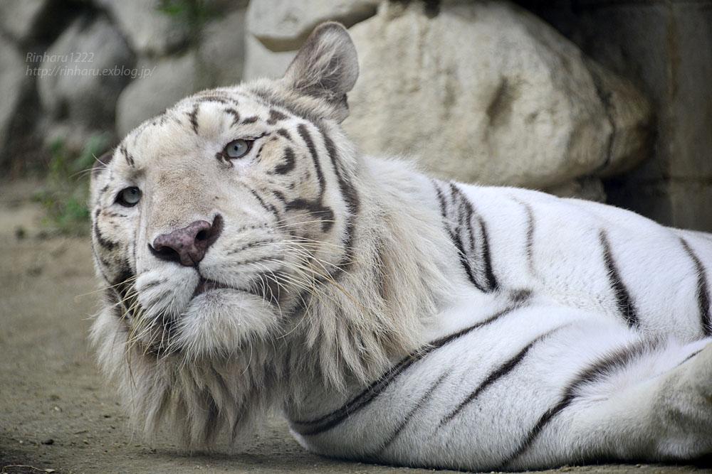 2016.6.26 東武動物公園☆ホワイトタイガーのロッキー【White tiger】_f0250322_2261813.jpg