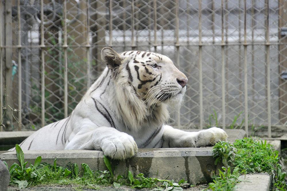 2016.6.26 東武動物公園☆ホワイトタイガーのロッキー【White tiger】_f0250322_226392.jpg