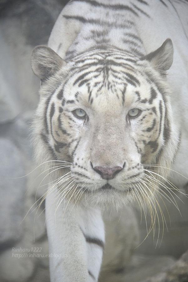 2016.6.26 東武動物公園☆ホワイトタイガーのロッキー【White tiger】_f0250322_226660.jpg