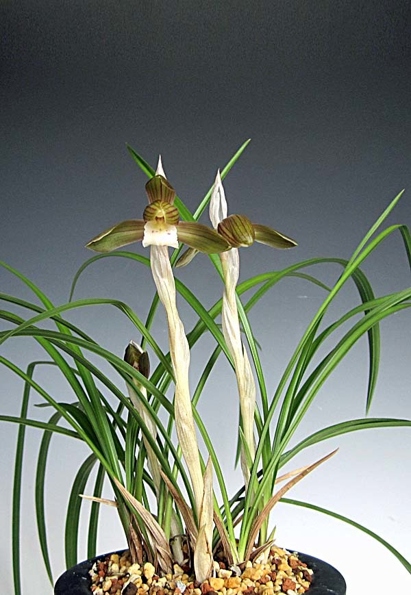 日本春蘭の更紗花                      No.1729_d0103457_00201039.jpg