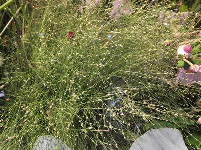 オークリーフ(菊の花)_f0049672_12552412.jpg
