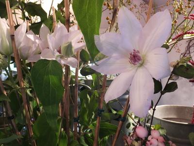 オークリーフ(菊の花)_f0049672_12554152.jpg