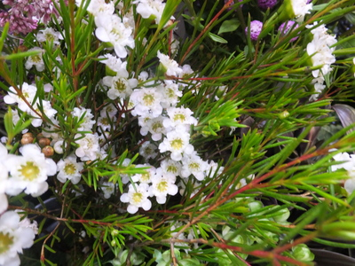 オークリーフ(菊の花)_f0049672_12574322.jpg