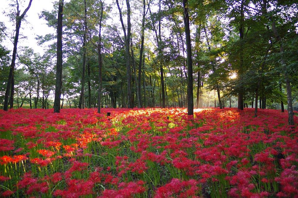 曼珠沙華の季節がやってきました。_d0157491_658279.jpg