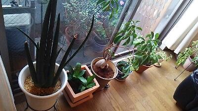 サロンに住んでる植物達の植え替え・植物からの恩恵_f0008555_13251122.jpg