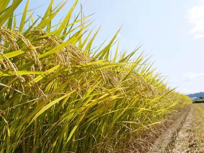 七城米 長尾農園 令和3年も美しすぎる田んぼで稲穂が頭を垂れ始めました!稲刈りは10月中旬です! _a0254656_17573556.jpg