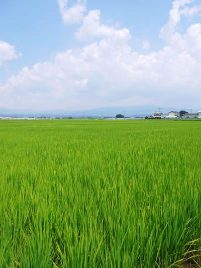 七城米 長尾農園 令和3年も美しすぎる田んぼで稲穂が頭を垂れ始めました!稲刈りは10月中旬です! _a0254656_18431672.jpg