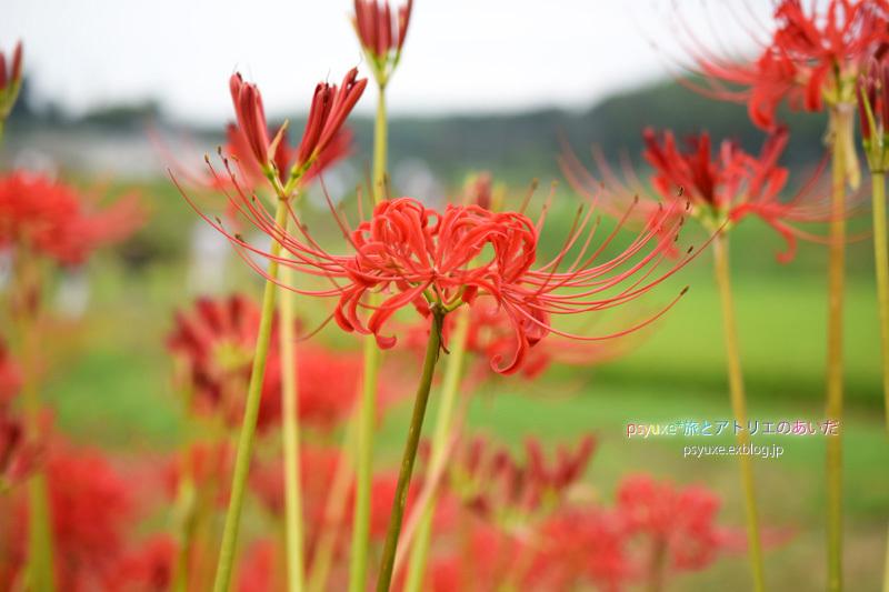 ごんの秋祭り*新見南吉記念館と彼岸花_e0131432_22112515.jpg
